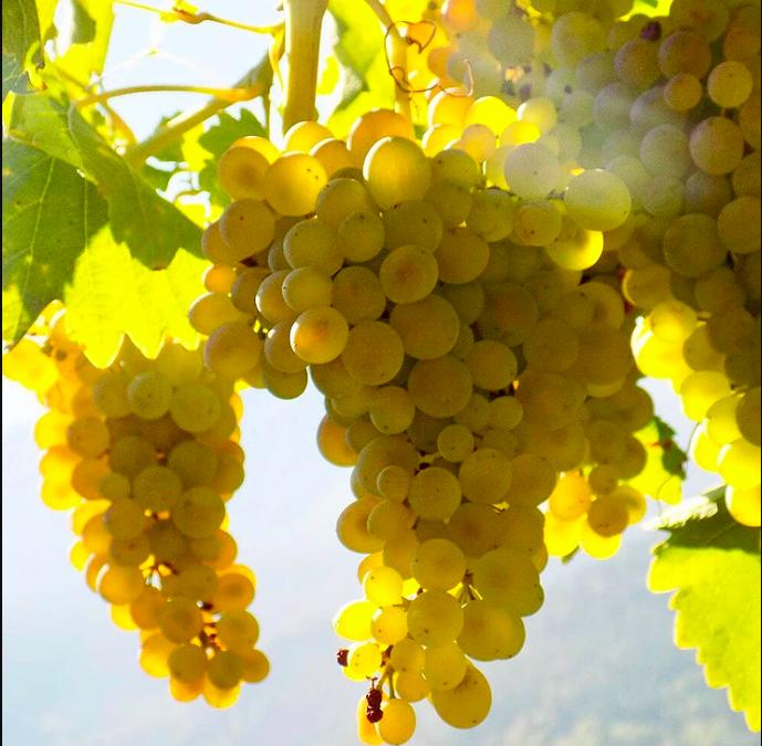 Vini estremi: Pavese Ermes – Blanc de Morgex et de La Salle.